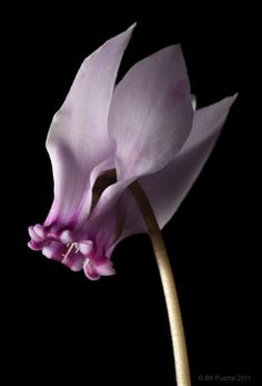 All sizes | Cyclamen hederifolium, 6715 | Flickr - Photo Sharing!