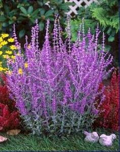 Russian sage is best planted where it will have room to grow to its mature size of three to five feet tall and three to four feet wide without being crowded. It needs full sun and average soil that drains well.