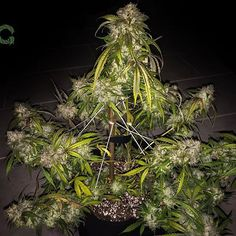 A few days left till our #December #DiaryoftheMonth ends, sponsored by @mephistogenetics with #exclusive #new #genetics each of the #winners! 👊🤘👊 Here is a #3BearsOG from @mephistogenetics grown by #mastergrower @jupiter401 here at #GrowDiaries.com 🙌🌲🙌 Show them some love and signup today to learn how to grow them! 🌳🤘🌳 #GD #mephisto_genetics #growyourown #grownshow