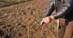 8. Fasonarea ramurilor (pomul din imagine este piersic) Imagines, Agriculture, Plant