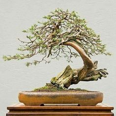 "825 Likes, 3 Comments -   Bonsai Addicted   (@bonsaiaddicted) on Instagram: ""Rocky Mountain Juniper (Juniperus Scopulorum)⠀ By Walter Pall (Germany )"""
