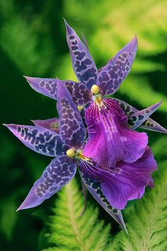 Purple Orchid Fairies