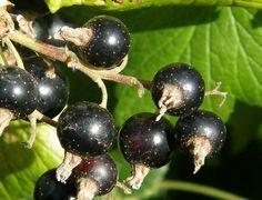 Propiedades del Grosellero negro | Cuidar de tus plantas es facilisimo.com