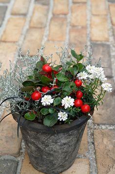 クリスマスの寄せ植え  ビッグベリー  イベリス プラチーナ