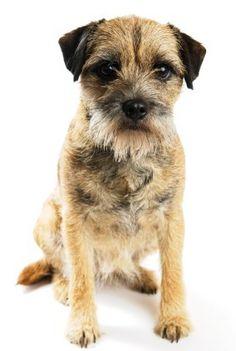Border Terrier- nothing cuter than a border terrier beard!!