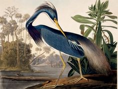 Louisiana Heron - John James Audubon {1785-1851}  Havell Edition