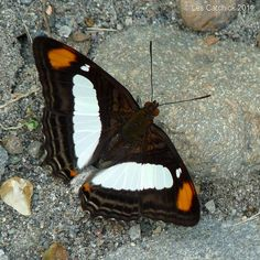 Butterfly (Adelpha thoasa)