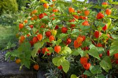 The Chinese lantern plant (Physalis alkekengi) is also called bladder cherry, Chinese lantern, Japanese lantern, or winter cherry. Chinese Lanterns Plant, Poison Garden, Cape Gooseberry, Poisonous Plants, Border Plants, Herbaceous Perennials, Ornamental Plants, Autumn Flowering Plants, Deciduous Trees