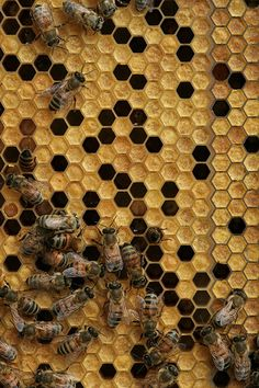 Honey bees represent only a small fraction of the roughly known species of bees. Some other types of related bees produce and store honey, but only members of the genus Apis are true honey bees. The study of honey bees is known as melittology. I Love Bees, Bees And Wasps, 3d Laser, Bee Art, Save The Bees, Busy Bee, Bee Happy, Patterns In Nature, Bees Knees
