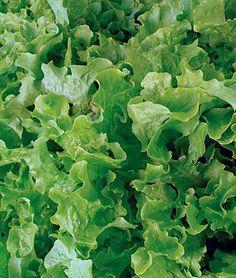 Lettuce Salad Bowl Green Organic - Crisp and tender with a sweet flavor. Lettuce Seeds, Green Lettuce, Types Of Vegetables, Fruits And Vegetables, Vegetables Garden, Veggies, Organic Vegetables, Lactuca Sativa, Burpee Seeds