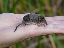 Tule Shrew Sorex ornatus juncensis extinct | Sorex ornatus relictus