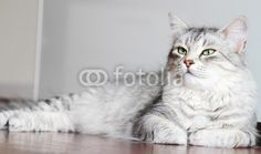 #silver #cats of #siberian #breed - sold on @fotolia - #pet #puppies #gatti #animals