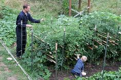 Tomato Cage:  This is our proven method for large tomato plants - easy to pick tomatoes and they never topple as they do in traditional tomato cages.