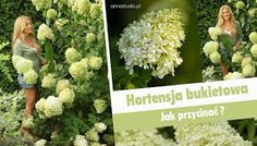 Lecę w kulki...: Jak przycinać hortensje bukietowe ? Deck Enclosures, Garden Design, Herbs, Landscape, Gardening, Lawn And Garden, Herb, Landscape Designs, Landscaping