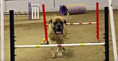 """In this post """" English Mastiff Completes Agility Course In Record 'Slow' Time """" Cesar Milan and his team make sure you have all the info you need for handling your dog! Giant Dogs, Big Dogs, Large Dogs, Dogs And Puppies, Corgi Puppies, Miniature Puppies, Teacup Puppies For Sale, Teacup Dogs, English Mastiff Dog"""