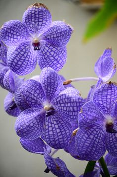 ✯ Purple Orchids - My My, these are pretty!