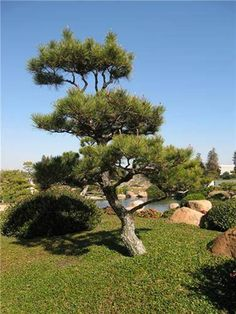 Landscaping And Outdoor Building , Great Small Trees For Landscaping : Japanese Black Pine Small Trees For Landscaping