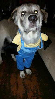 Princess's first Halloween '16 #dogcostumes #minions