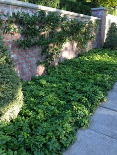 Ground cover for front area...pachysandra terminalis (japanese spurge)