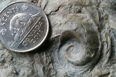 Cyrtolites ornatus uploaded in Urban Fossils of Toronto: Cyrtolites ornatus (Conrad, 1838). Late Ordovician monoplacophoran from Mimico creek, Toront...