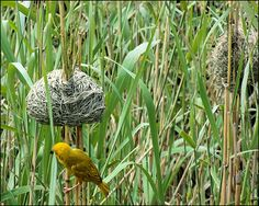 South Africa - Canary-yellow birds weave nests between the reeds, Lake St. Lucia