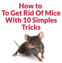Top 10 Best Ways To Get Rid Of Mice