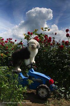 Bobtail puppy