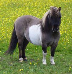 Miniature Shetland Pony | Re: Miniature Horses/Shetland ponies HELP!