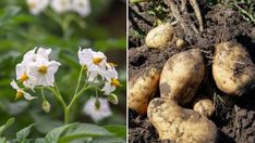 Mit ültessek a borsó mellé, ami nem árt, hanem használ neki? Mint, Plants, Terracotta, Flora, Peppermint, Plant