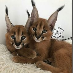 Can Cats Eat Chocolate Key: 1668267596 Caracal Kittens, Serval, Pretty Cats, Beautiful Cats, Animals Beautiful, Puppies And Kitties, Cats And Kittens, Cat Years, Cat Ages