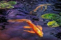 Goldfish Photograph - Animal - Fish - There's Something About Koi  by Mike Savad