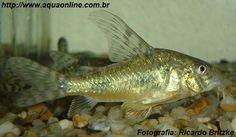Nome científico:Corydoras paleatus  Nome popular (BR):Coridora Mármore
