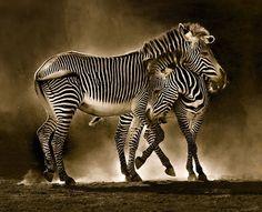 Zebra by Marina Cano