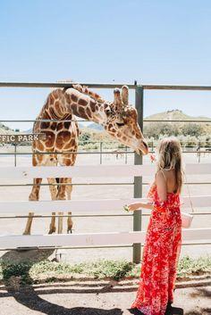 Stanley, the giraffe, at Malibu Wines Safaris