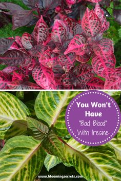 """Iresine is also commonly referred to as blood leaf and you'll have no """"bad blood"""" with your neighbors if you grow this beauty in your garden!"""