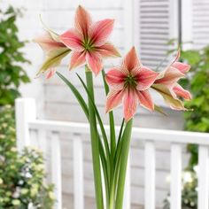'Exotic Star' Amaryllis Bulb