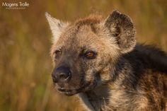 Sunrise hyena by Mogens Trolle / 500px
