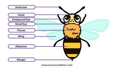 Another anatomy of a bee chart.  Plus a great website with a cartoon about bees.