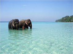 Elephants on the beach, Andaman & Nicobar Islands : Perhaps the only place on Earth where u can see Elephants snorkeling. A perfect aqua destination - Scuba, Coral, Snorkeling, Pristine beaches, Untouched local culture.....!!!