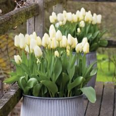 How to plant tulips   Sarah Raven