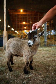 13. Pygmy Goat: pygmy goats originate in West Africa and can grow up to 23in tall.