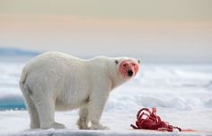 Winner of Wild and Vibrant category, Joshua Holko of Australia 'A polar bear gorges on a carcass 80 degrees North of Svalbard in the Arctic'