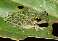 Western Highland Treefrog (Litoria iris)