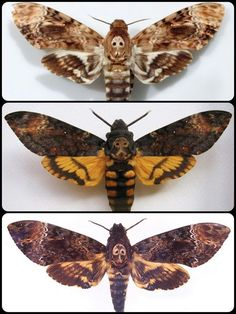 Death's head moths (Acherontia atropos [top], A. styx [middle], A. lachesis [bottom]