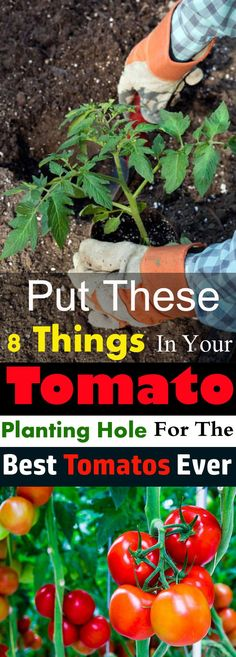 Put These 8 Things in Your TOMATO Planting Hole For The Best Tomatoes Ever Do you want to grow the best tomatoes in taste and size? And want to have a bumper harvest? Then put these things in the hole before planting your tomato plant! Veg Garden, Tomato Garden, Edible Garden, Lawn And Garden, Vegetable Gardening, Terrace Garden, Veggie Gardens, Tomato Tomato, Garden Web