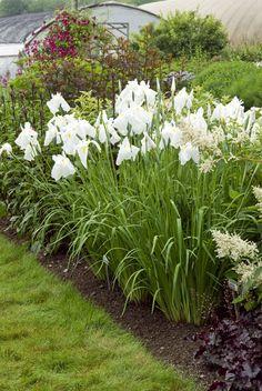 Japanese iris - - Iris ensata 'Great White Heron' - - Learn how to create a garden with Iris blooms all season long at http://gardendesignforliving.com/?p=1150