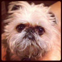 @stacyz713   Love of my life! #brusselsgriffon #ilovemydog   Webstagram - the best Instagram viewer