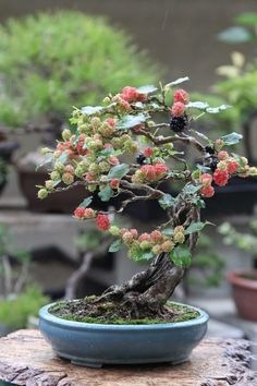60 My Favorite Beautiful list of Trees for Bonsai [pics] A bonsai tree can add such beautiful to your backyard decoration and home decor. It adds peace and is a peace of art in itself. There are many but I've selected 60 best trees for bonsai. Check out! Bonsai Fruit Tree, Flowering Bonsai Tree, Bonsai Tree Care, Bonsai Tree Types, Bonsai Plants, Bonsai Garden, Fruit Trees, Trees To Plant, Tree Garden