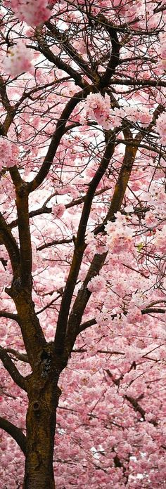 Cherry blossoms..!