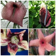 POST SUMMARY: Flowers which symbolise death (and sex), huge penis-shaped flowers which reek of putrefying flesh and how YOU can smell like decomposition without the hassle of travelling to Sumatra.…